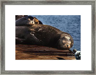 Sea Lions On The Dock Framed Print