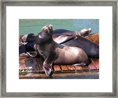 Sea Lions Sunning Framed Print by Yvette Pichette