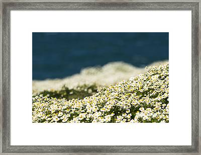 Sea Mayweed And The Sea Framed Print by Anne Gilbert