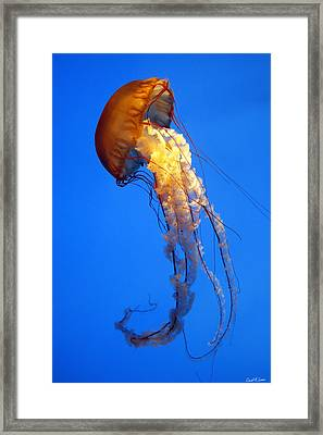 Sea Nettle Framed Print by David Simons