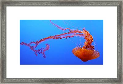 Sea Nettle Jellyfish Framed Print
