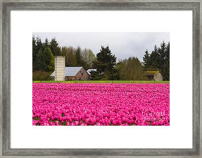 Sea Of Pink Framed Print by Mike  Dawson