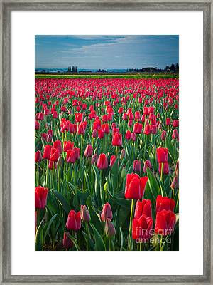 Sea Of Red Tulips Framed Print