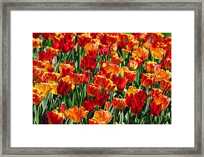 Sea Of Tulips II Framed Print by Dick Wood
