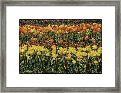 Sea Of Tulips Framed Print by LeeAnn McLaneGoetz McLaneGoetzStudioLLCcom