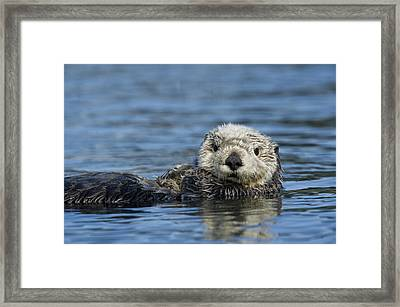 Sea Otter Alaska Framed Print by Michael Quinton