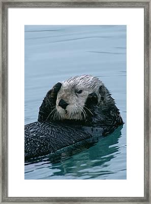 Sea Otter Grooming Framed Print by Matthias Breiter