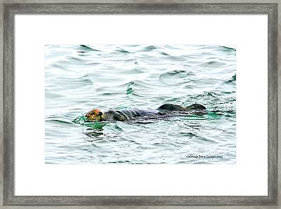 Sea Otter In Northern Cali Framed Print by Rebecca Adams
