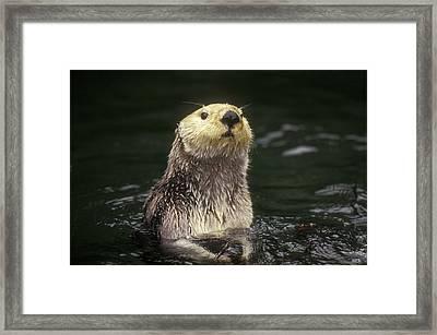 Sea Otter Pacific Coast North America Framed Print by Gerry Ellis