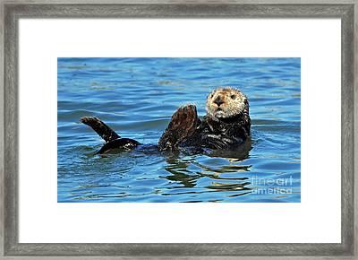 Sea Otter Primping Framed Print by Susan Wiedmann