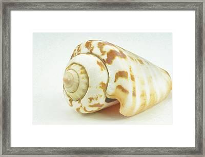 Sea Shell In Oil Framed Print