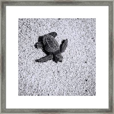 Sea Turtle In Black And White Framed Print