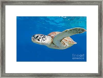 Sea Turtle Framed Print by Isabelle Kuehn