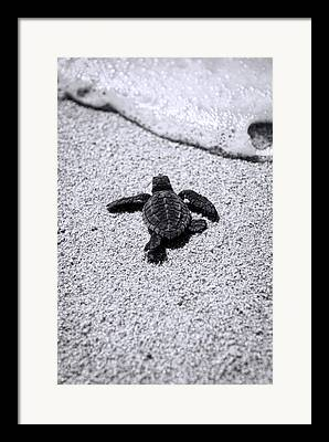 Baby Sea Turtle Framed Prints