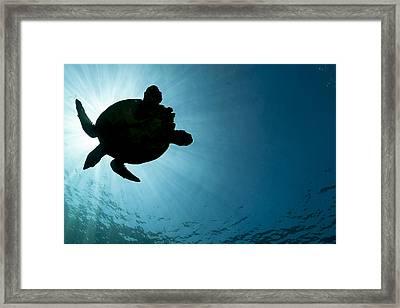 Sea Turtle Silhouette Framed Print