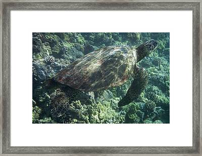 Sea Turtle Surfacing Framed Print