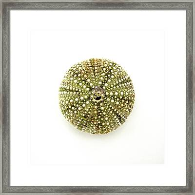 Sea Urchin No.1 Framed Print by Jennifer Booher
