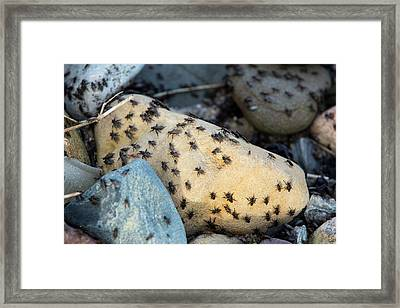 Sea Weed Flies (coelopa Frigida) Framed Print