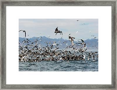 Seabirds Feeding Framed Print