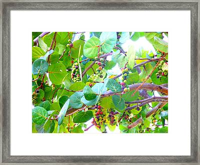 Seagrapes Framed Print by Kay Gilley