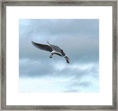 Seagull And His Breakfast Framed Print
