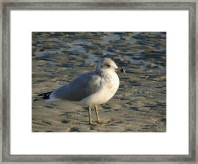 Seagull Framed Print by Cindy Croal