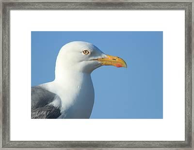 Seagull  Framed Print by Diane Rada