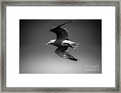 Seagull Flying Higher  Framed Print