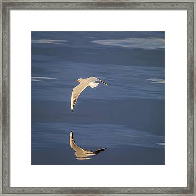 Seagull Flying Low Over Reykjavik Framed Print by Panoramic Images