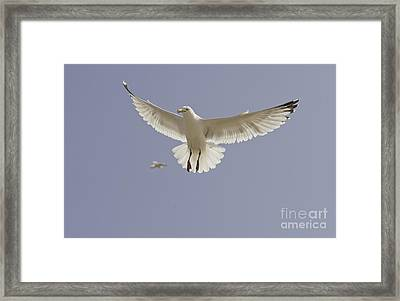 Seagull Hovering Framed Print by Lesley Rigg