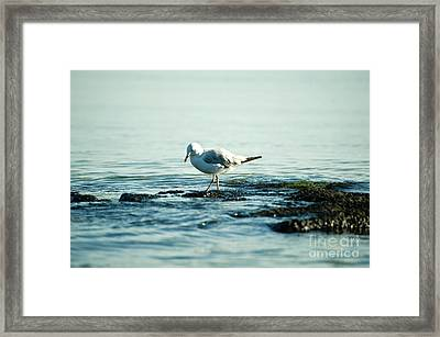 Framed Print featuring the photograph Seagull Hunting by Yew Kwang
