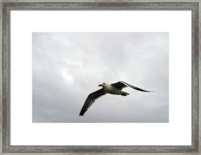 Seagull In Flight Framed Print