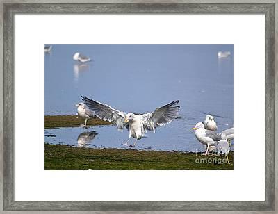 Seagull Landing Framed Print by Marsha Schorer