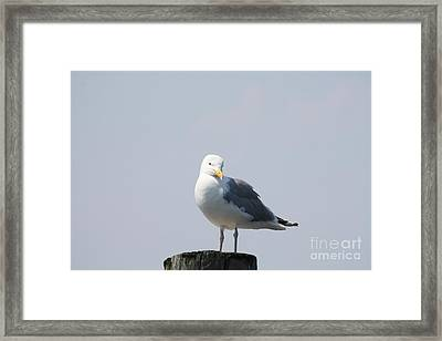 Seagull Looking For Some Food Framed Print by John Telfer