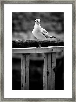 Seagull Portait Framed Print by Pati Photography