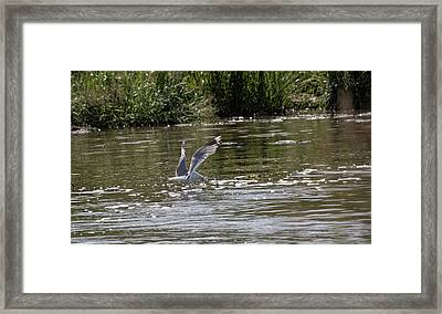 Framed Print featuring the photograph Seagull Searching Food by Leif Sohlman