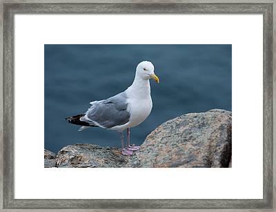 Seagull Framed Print by Sebastian Musial