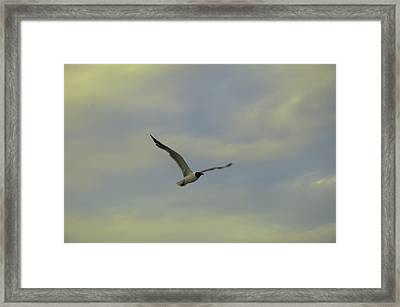 Seagull Soaring Framed Print by Bill Cannon