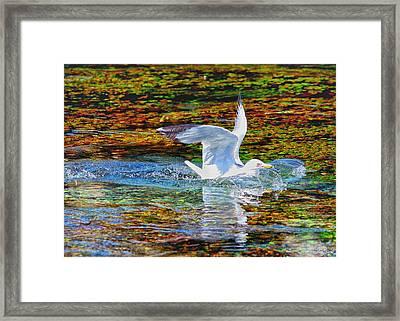 Seagull Splashdown Framed Print by Greg Norrell