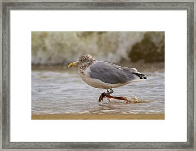 Seagull Walking Framed Print by Allan Morrison