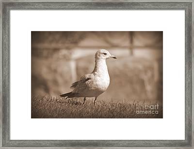 Seagulls 2 Framed Print
