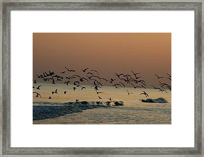 Seagulls Feeding At Dusk Framed Print by Beth Andersen