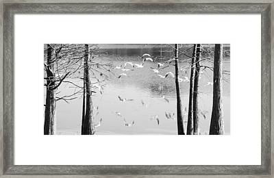 Seagulls In Flight With Reflection And Trees Framed Print by Rebecca Brittain