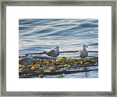 Seagulls In Victoria Bc Framed Print