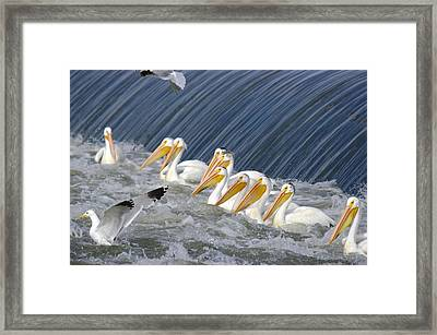 Seagulls Intrude Upon The Pelican Social Gathering Framed Print by Jeff Swan