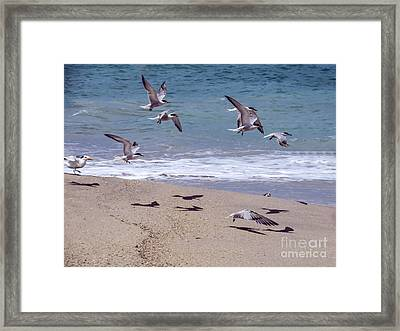 Seagulls On The Wing Framed Print