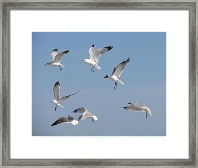Seagulls See A Cracker Framed Print