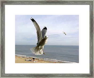 Inquisitive Seagull Framed Print