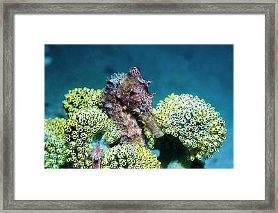 Seahorse With Sea Squirts Framed Print by Georgette Douwma