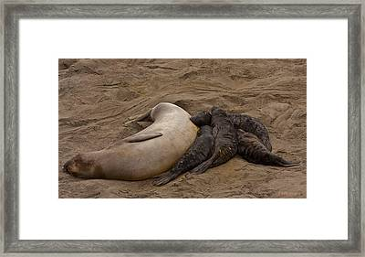 Seal And Pups Framed Print